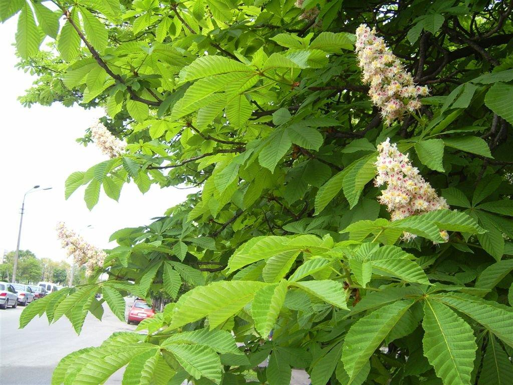 Chestnut_Flowers